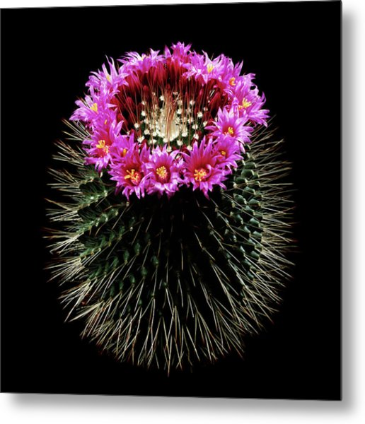 Mammillaria Spinosissima In Flower Metal Print