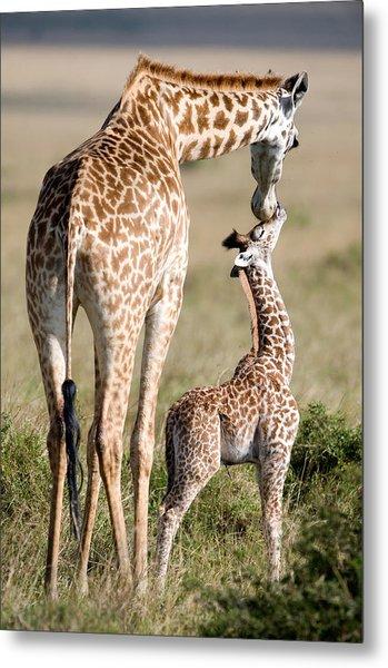 Masai Giraffe Giraffa Camelopardalis Metal Print