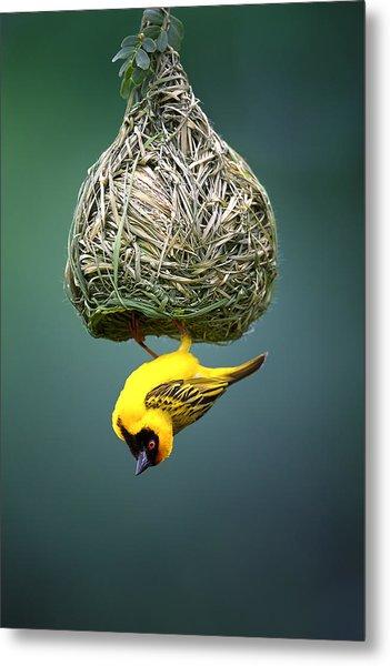 Masked Weaver At Nest Metal Print