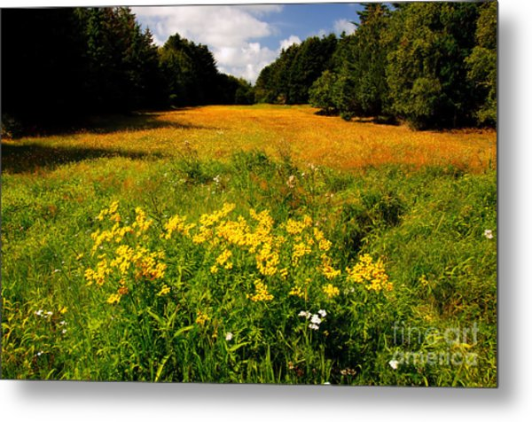 Meadow Filled With Yellow Flowers Metal Print