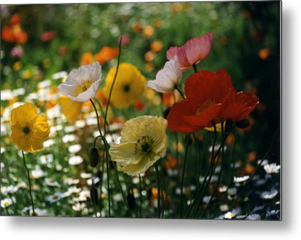 Mixed Color Poppies Metal Print