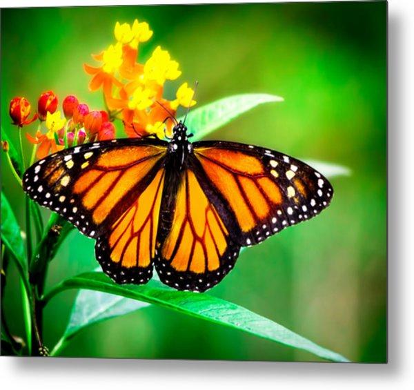 Monarch Butterfly Metal Print
