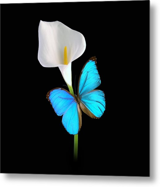 Morpho On Calla Metal Print