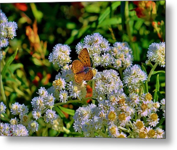 Moth On Pearly Everlasting Metal Print