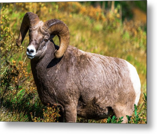 Mountain Goats  Metal Print by Rohit Nair