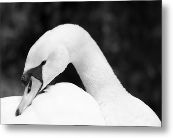 Mute Swan Black White Metal Print