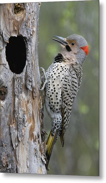 Northern Flicker At Nest Cavity Alaska Metal Print