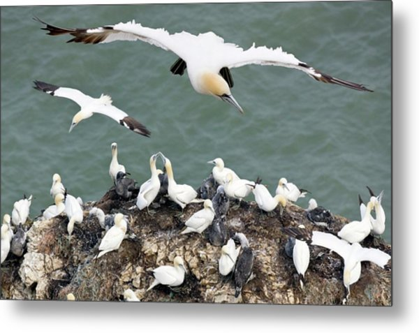 Northern Gannet Colony Metal Print by Steve Allen/science Photo Library