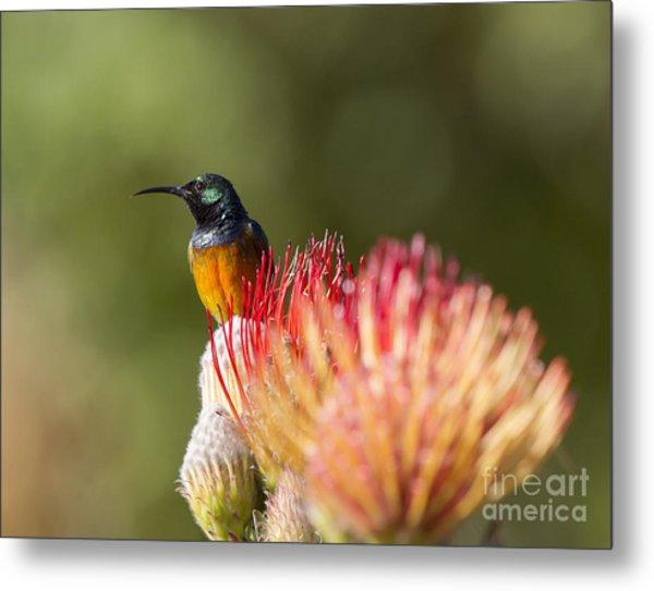 Orange-breasted Sunbird Metal Print