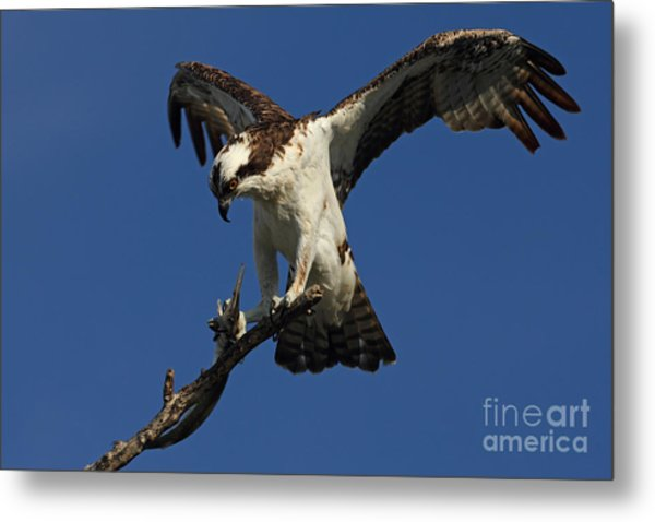Osprey With A Fish Photo Metal Print