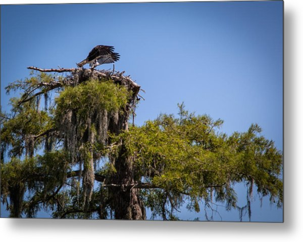 Osprey With Wings Forward Metal Print