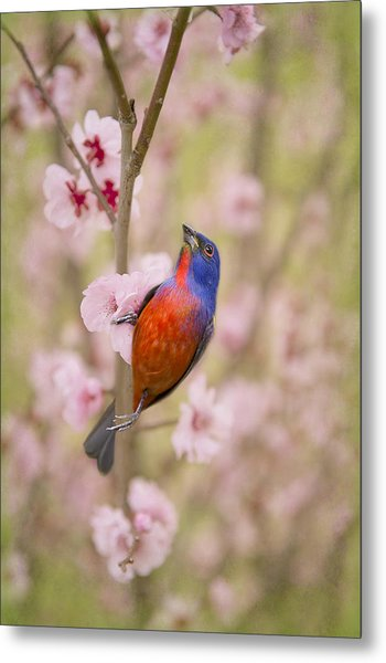 Painted Bunting In Spring Metal Print