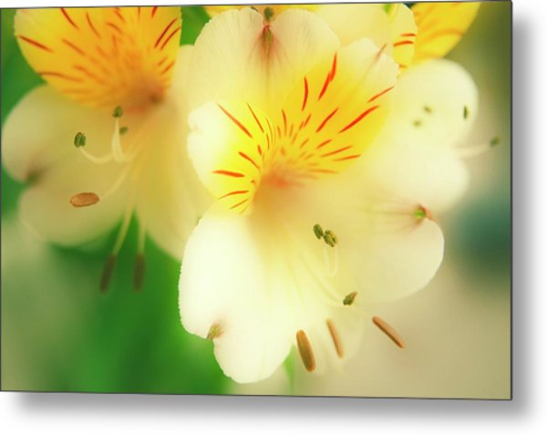 Peruvian Lily (alstroemeria Haemantha) Metal Print by Maria Mosolova/science Photo Library