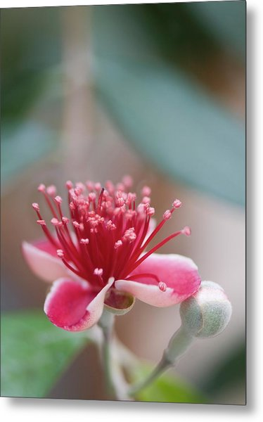 Pineapple Guava (feijoa Sellowiana) Metal Print by Maria Mosolova