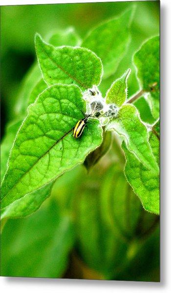 Poha Berry Beetle Metal Print
