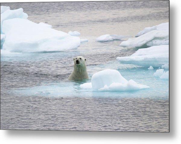 Polar Bear Metal Print by John Devries/science Photo Library