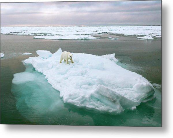 Polar Bear Standing On A Ice Floe Metal Print by Peter J. Raymond