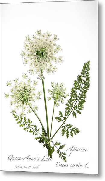 Queen-anne's-lace 2 Metal Print