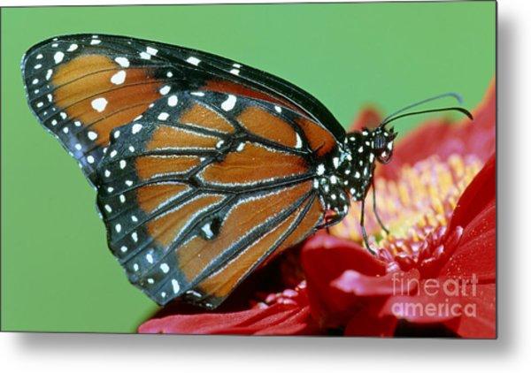 Queen Butterfly Metal Print