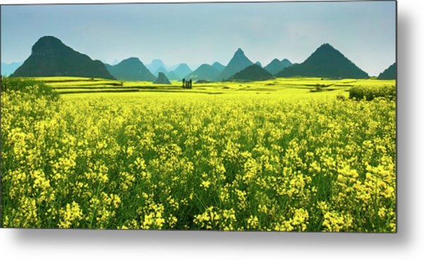 Rapeseed Flowers Metal Print by Sunnyha  Images