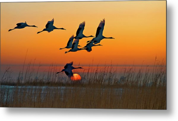 Red-crowned Crane Metal Print