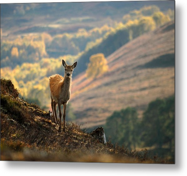 Red Deer Calf Metal Print