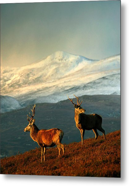 Red Deer Stags Metal Print