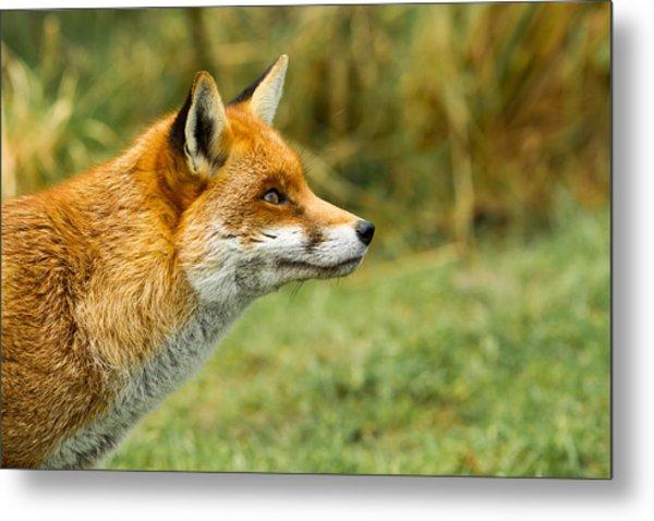 Red Fox - Vulpes Vulpes Metal Print by George Cox