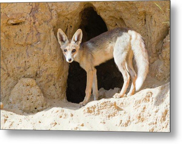 Red Fox (vulpes Vulpes) Metal Print by Photostock-israel