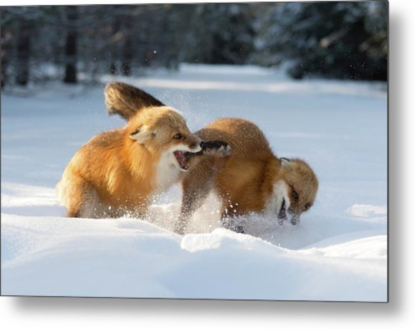 Red Foxes Interacting In Snow Metal Print by Dr P. Marazzi/science Photo Library