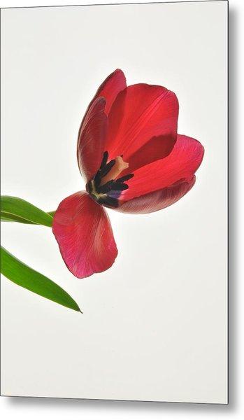 Red Transparent Tulip Metal Print