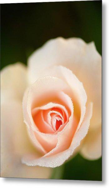 Rosa 'johann Strauss' Flower Metal Print by Maria Mosolova