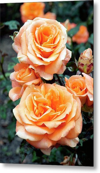 Rose (remy Martin) Metal Print by Brian Gadsby/science Photo Library