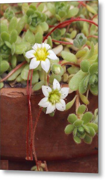 Rosularia Sedoides Var Alba Metal Print by Science Photo Library