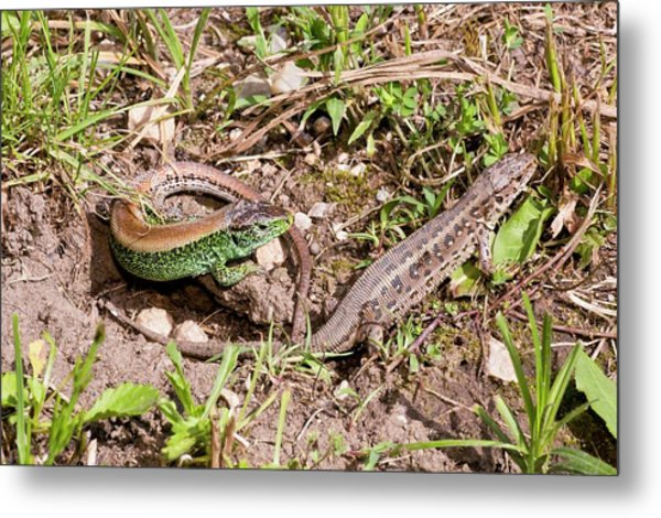 Sand Lizards Courting Metal Print by Bob Gibbons