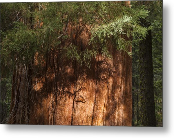 Sequoia Metal Print
