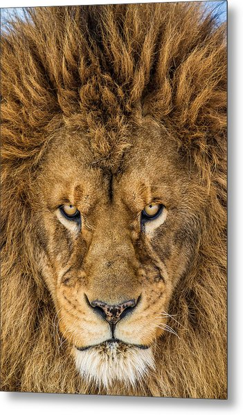 Serious Lion Metal Print by Mike Centioli