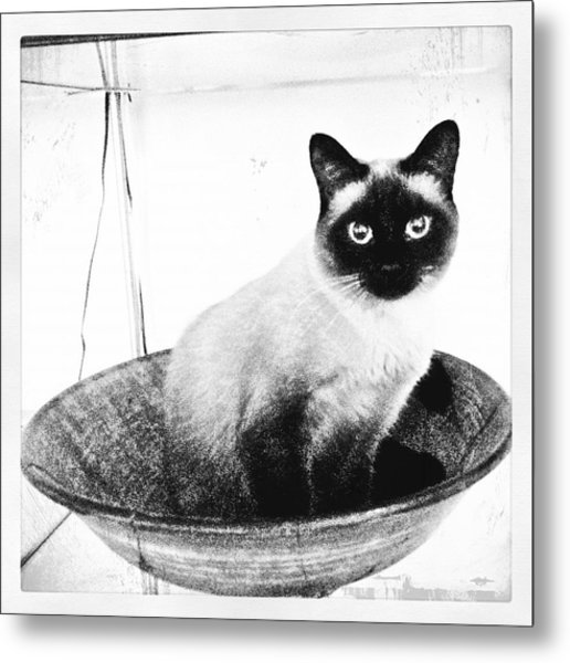 Siamese In A Bowl Metal Print