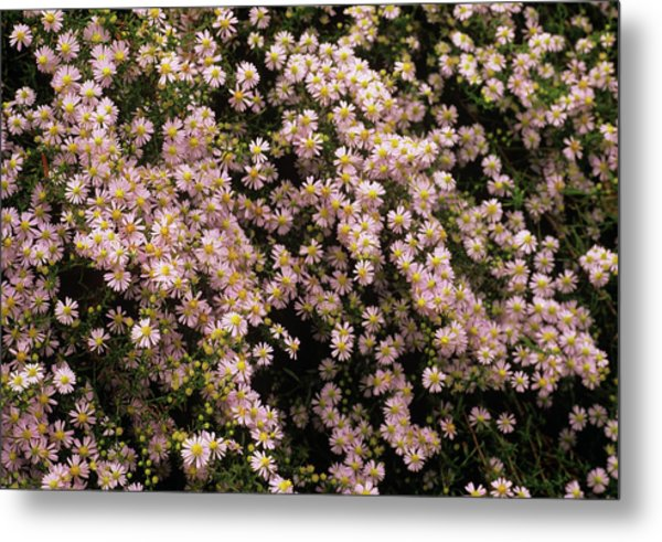Sky Blue Aster Flowers Metal Print by Anthony Cooper/science Photo Library