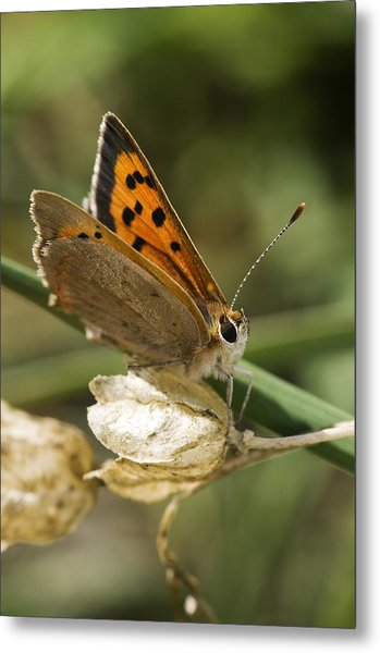 Small Copper Butterfly Metal Print