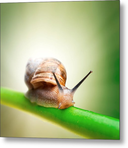 Snail On Green Stem Metal Print