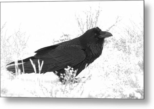 Snow Raven Metal Print