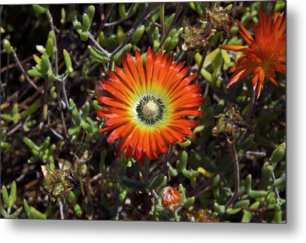 South African Flowers Metal Print by Dr P. Marazzi/science Photo Library