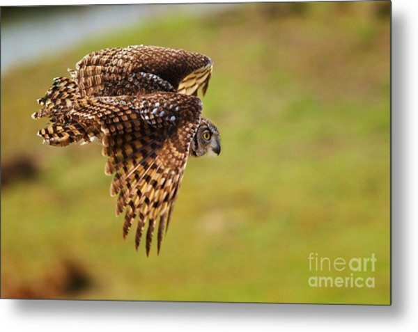 Spotted Eagle Owl In Flight Metal Print