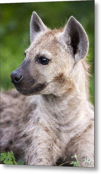 Spotted Hyena Metal Print by Sean McSweeney