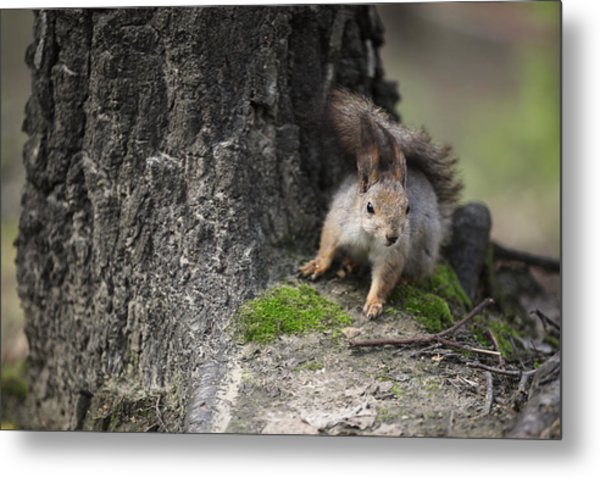 Squirrel Metal Print by Ira Gorod