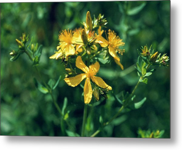 St John's Wort Flowers Metal Print by Th Foto-werbung/science Photo Library