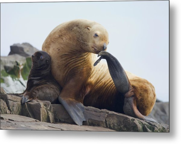 Steller Sea Lion Female And Young Pup Metal Print