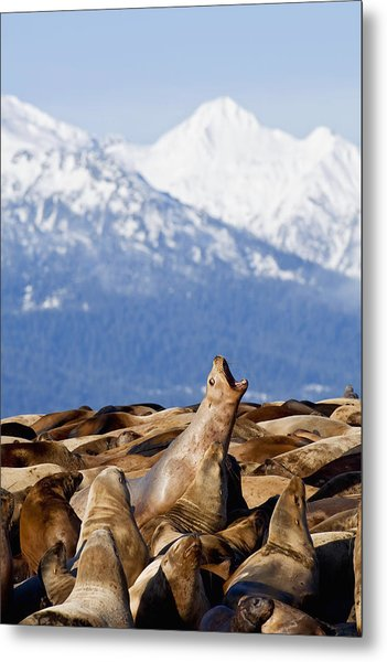 Steller Sea Lions Haul Out On A Small Metal Print