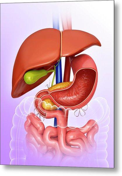 Stomach And Internal Organs Metal Print by Pixologicstudio